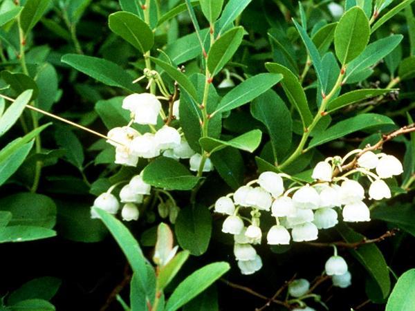 Honeycup (Zenobia Pulverulenta) http://www.sagebud.com/honeycup-zenobia-pulverulenta/