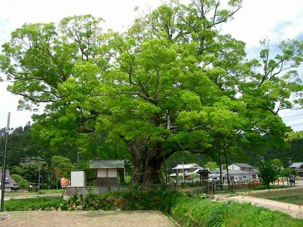 Japanese Zelkova (Zelkova Serrata) http://www.sagebud.com/japanese-zelkova-zelkova-serrata/