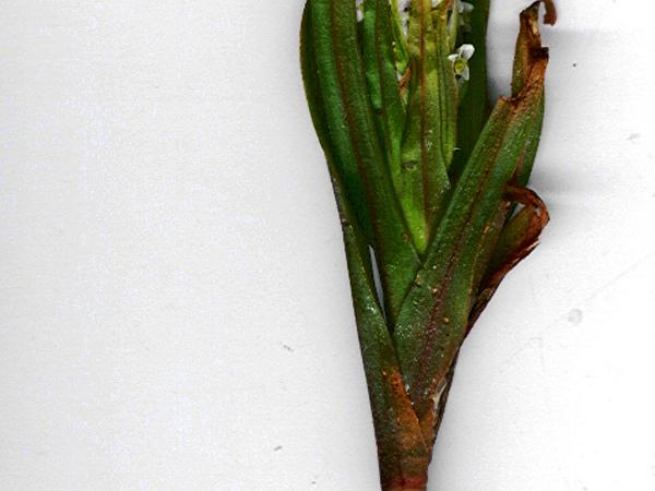 Soldier's Orchid (Zeuxine Strateumatica) http://www.sagebud.com/soldiers-orchid-zeuxine-strateumatica