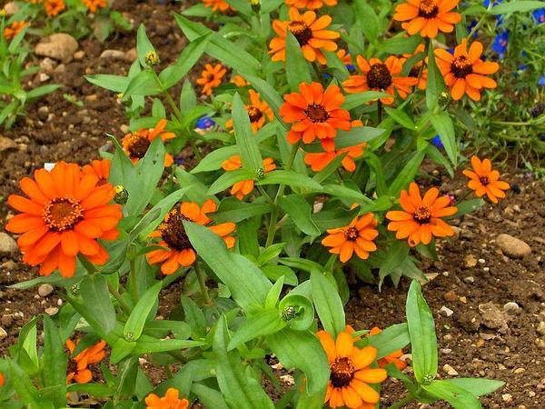 Narrowleaf Zinnia (Zinnia Angustifolia) http://www.sagebud.com/narrowleaf-zinnia-zinnia-angustifolia