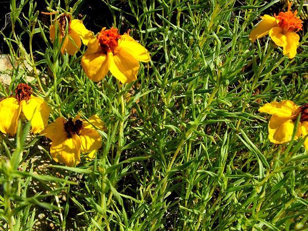 Rocky Mountain Zinnia (Zinnia Grandiflora) http://www.sagebud.com/rocky-mountain-zinnia-zinnia-grandiflora