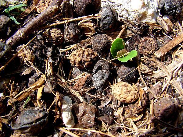 Indian Jujube (Ziziphus Mauritiana) http://www.sagebud.com/indian-jujube-ziziphus-mauritiana/