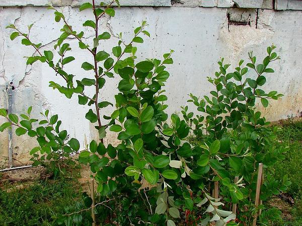 Indian Jujube (Ziziphus Mauritiana) http://www.sagebud.com/indian-jujube-ziziphus-mauritiana