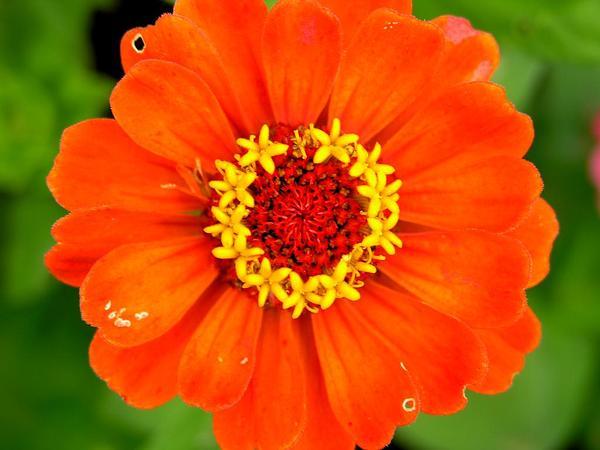 Zinnia (Zinnia) http://www.sagebud.com/zinnia-zinnia/