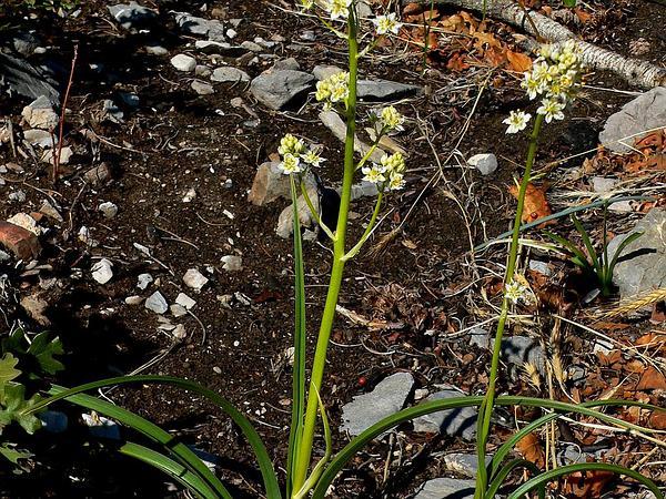 Foothill Deathcamas (Zigadenus Paniculatus) http://www.sagebud.com/foothill-deathcamas-zigadenus-paniculatus