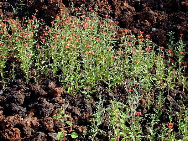 Peruvian Zinnia (Zinnia Peruviana) http://www.sagebud.com/peruvian-zinnia-zinnia-peruviana
