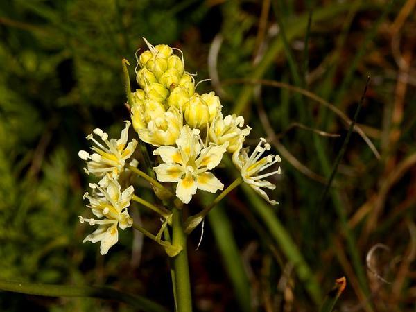 Meadow Deathcamas (Zigadenus Venenosus) http://www.sagebud.com/meadow-deathcamas-zigadenus-venenosus/