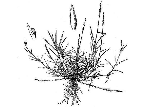Manila Grass (Zoysia Matrella) http://www.sagebud.com/manila-grass-zoysia-matrella