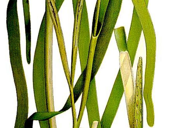 Eelgrass (Zostera) http://www.sagebud.com/eelgrass-zostera