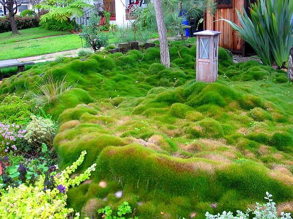Lawngrass (Zoysia) http://www.sagebud.com/lawngrass-zoysia/