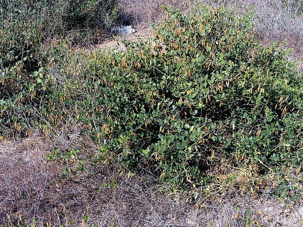 Syrian Beancaper (Zygophyllum Fabago) http://www.sagebud.com/syrian-beancaper-zygophyllum-fabago/