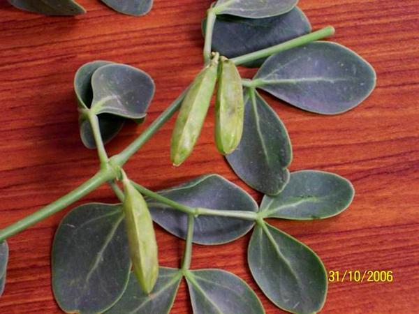 Beancaper (Zygophyllum) http://www.sagebud.com/beancaper-zygophyllum