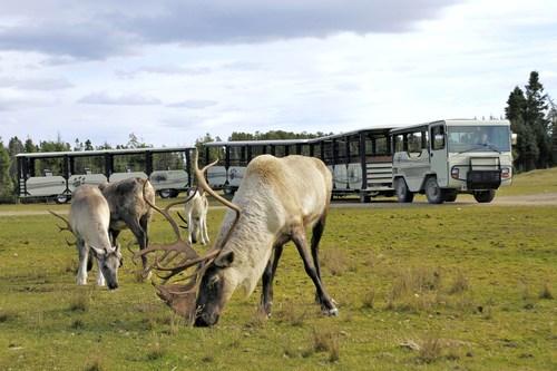 Caribou cr dit zoo sauvage de saint f licien.jpg small