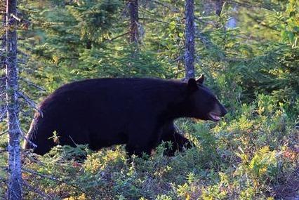 Observation de l ours noir   lacs   jimmy saguenay  lac saint jean small