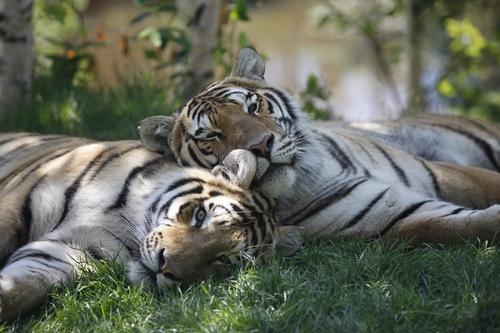 Zoo tigre small