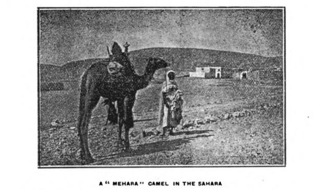 "A ""Mehara"" Camel in the Sahara"