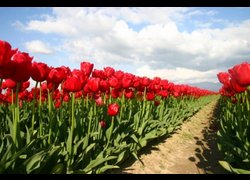 Flowers_tulips_nature_375234_l