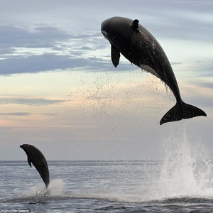 Cache Money - Eight-ton orca leaps 15ft into the air to finally capture dolphin after two-hour chase | Mail Online
