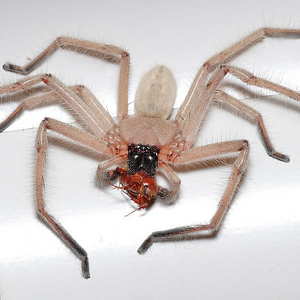 Foraging - File:Huntsman spider with meal.jpg - Wikipedia, the free encyclopedia