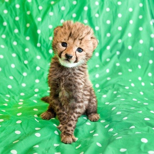 Foraging - Busch Gardens' Baby Cheetah is So Cute We Literally May Have Died - Miami News - Riptide 2.0
