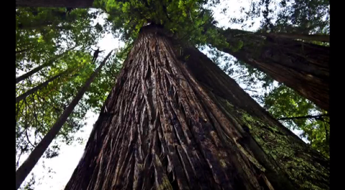 This short video shows the extent some redwood trees can grow.