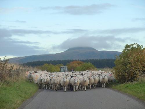 sheep-roadblock