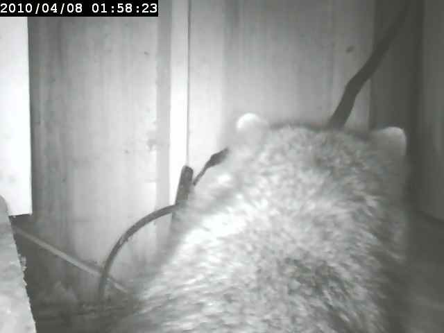 Sensr.net SkyIPCam500w motion detection finds a raccoon!