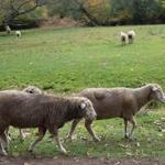 Sheep_15415bc_half