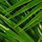 Palm_bg_half