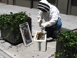 Two Bee Swarms Hit Flatiron District in One Day