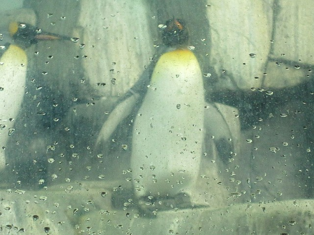 central park zoo penguins. New Penguins Welcomed To Central Park Zoo Four new penguins made their debut