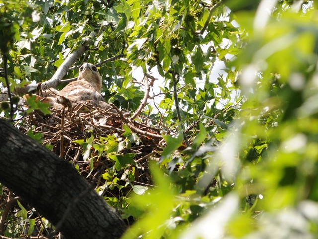 The mother stays mostly in the nest while the father hunts for food. The hawks hunt pigeons, squirrels, rats and other animals.