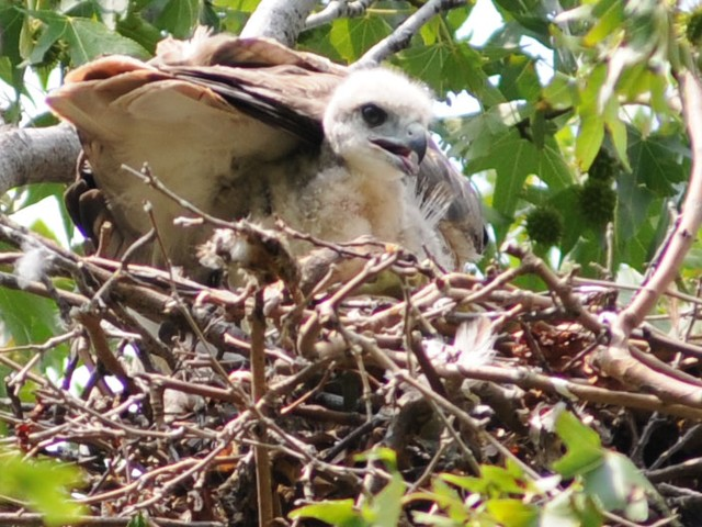 One of the two red-tailed hawk hatchlings under the tail of its mother.