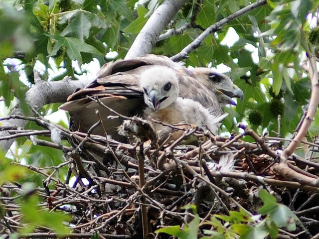 The red-tailed hawk hatchlings in Riverside Park seem curious, often peaking out from the nest.