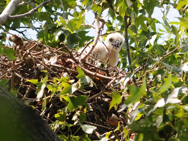 The red-tailed hawk babies seem curious about the action below their nest.