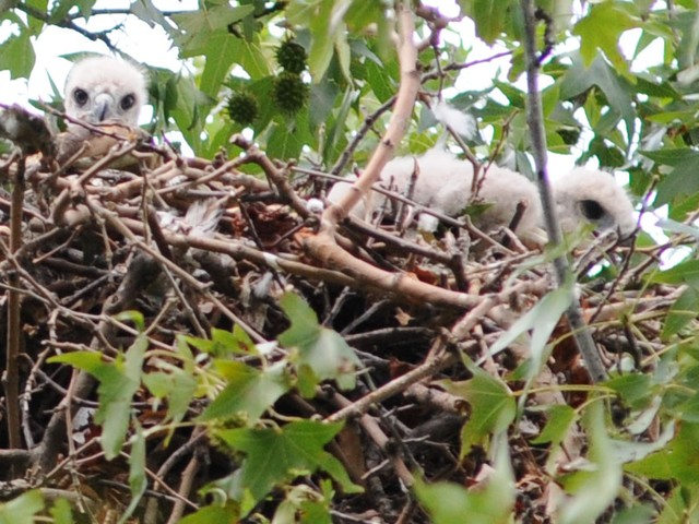 Red-tailed hawk hatchlings in their nest just north of the 79th Street Boat Basin in Riverside Park.