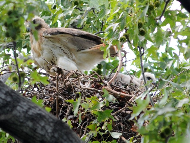 The mother gets ready to fly away from the nest as a baby looks on.