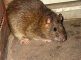 'Rat Team' Meets to Combat Rampant Rodents