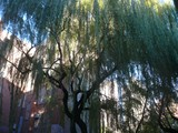 Public Outcry May Save Willow Tree That's Been East Village Fixture Since 1970s