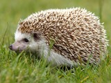 Pet Hedgehog Killed in Fire, Residents Laugh Off Wolverine Reports