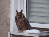 Owl Found Dead in Inwood Poses Mystery for Rangers