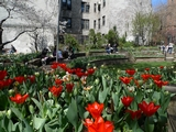 Thousands of Tulips Bring Spring to Upper West Side