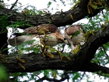 Hawk Watchers Concerned With Poison Near Riverside Park Nest