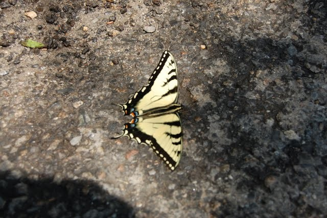 Butterfly found on the ground in Highbridge Park.