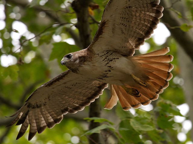 A red-tailed hawk in Riverside Park.