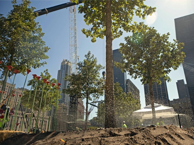 The first swamp white oak trees arrived at the 9/11 memorial in August 2010.