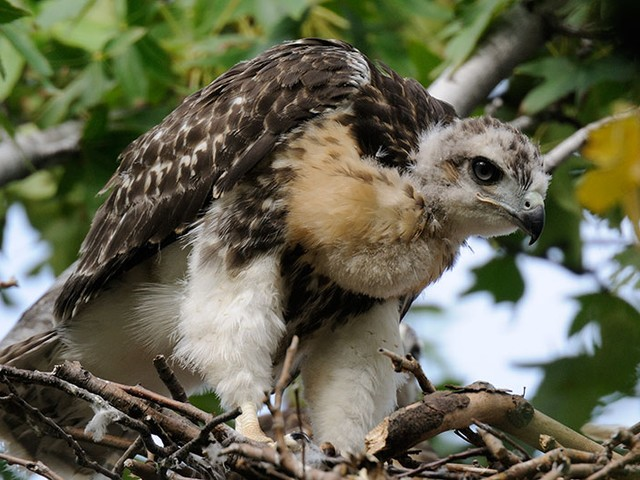 A young hawk with gray and white baby fuzz stretches its wings in Riverside Park.