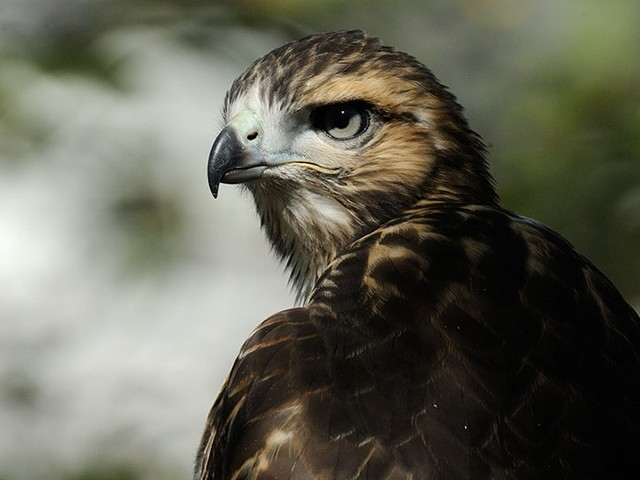 One of Riverside Park's hawks strikes a regal pose.