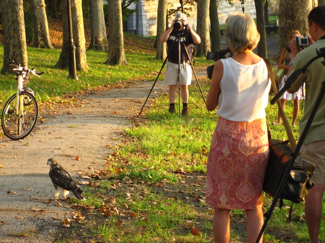 That's not Lindsay Lohan. Photographers try to catch a shot of a baby hawk in Riverside Park on Tuesday evening.