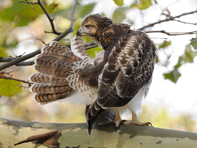 A young hawk keeps its tail feathers looking spiffy.